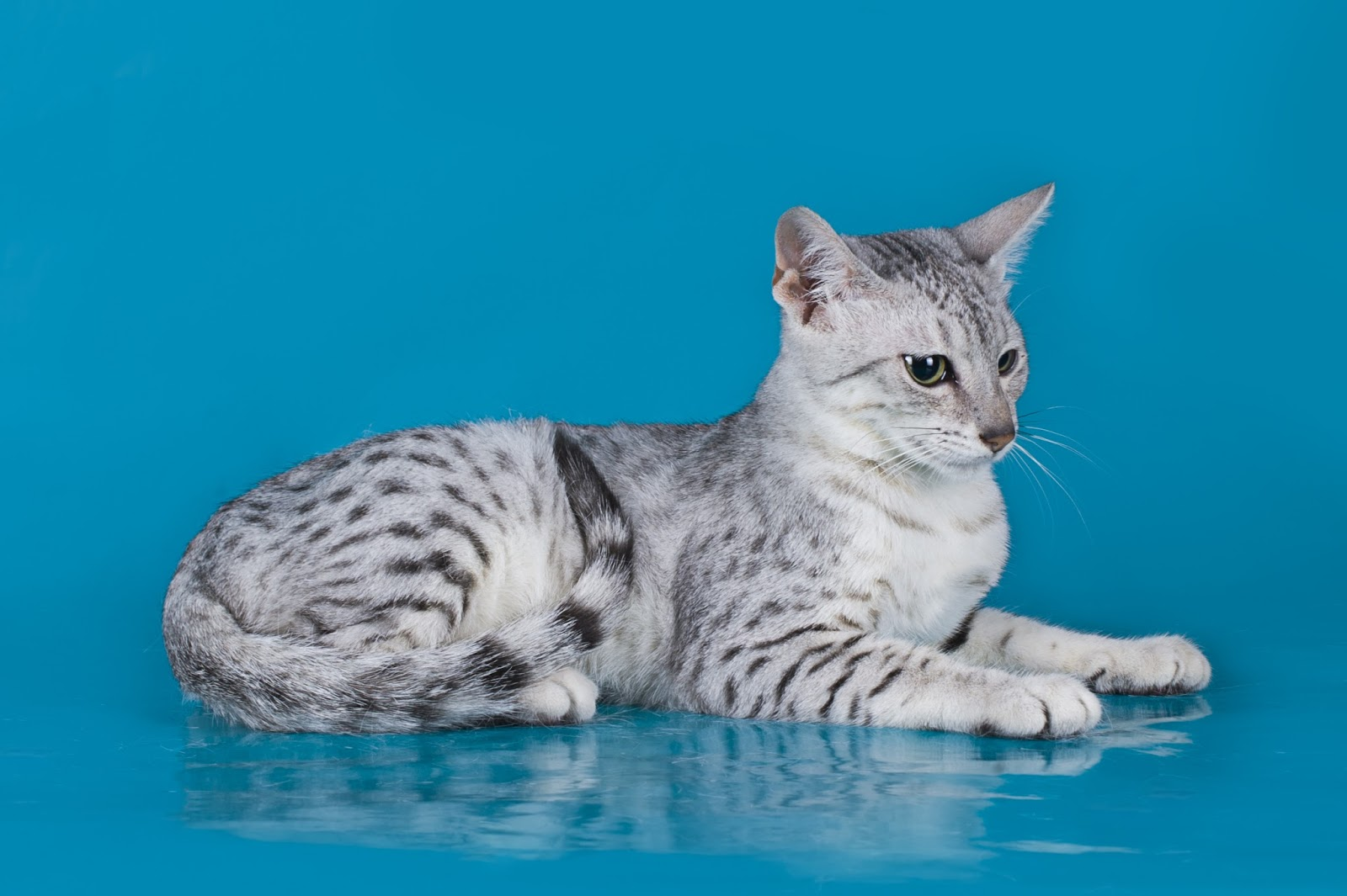 The Cuddlywumps Cat Chronicles: The Egyptian Mau: Pharaoh of the ...