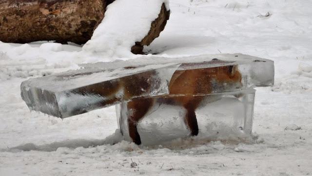 Лисиця в брилі льоду
