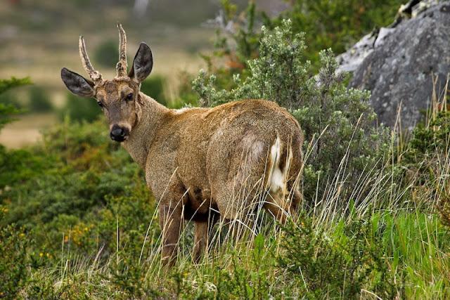 Huemul animal facts