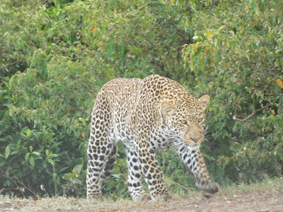 Leopard on Safari with Escape Worldwide