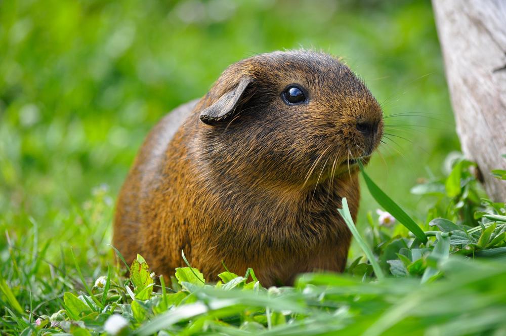 guinea pig husbandry new farm vet fortitude valley newstead