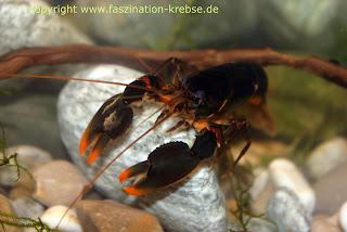 Karakterisitik, Jenis Kelamin, Habitat dan Penyebaran Lobster Air Tawar (Cherax sp)