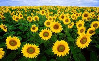 Sunflower Helianthus Annuus bunga matahari - berbagaireviews.com
