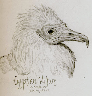 egyptian vulture drawing - photo #9