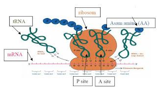 Translasi melibatkan ribosom, mRNA dan tRNA, dan asam amino.