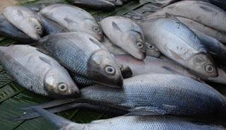 cara budidaya ikan bandeng agar cepat besar,cara budidaya ikan bandeng air payau,cara budidaya ikan bandeng air tawar,cara budidaya ikan bandeng tambak,cara budidaya ikan bandeng cepat besar,
