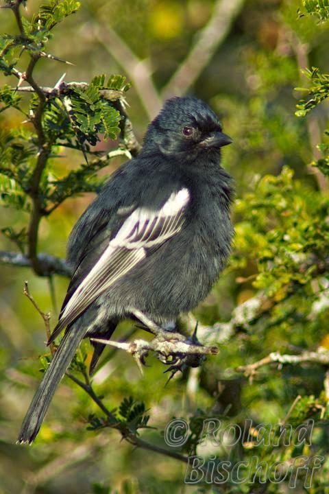 Carbonero negro, Melaniparus niger