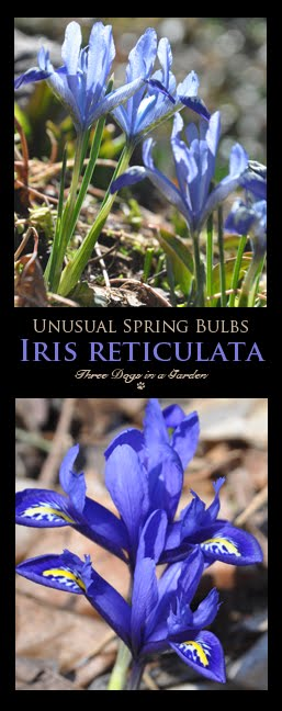 Unusual Spring Bulbs