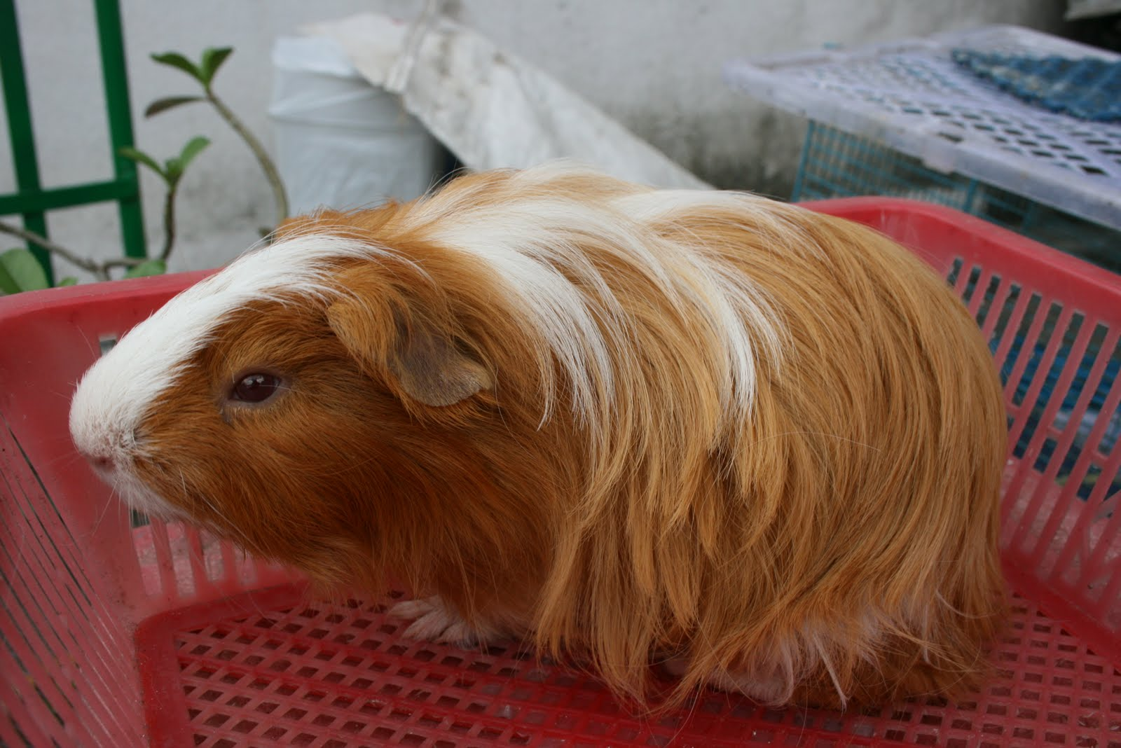 Sheltie guinea pigs - photo#32