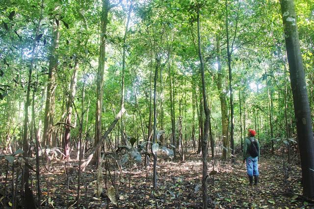 Caminhada pela mata amazônica, em Mamirauá.