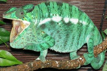 How Do Veiled Chameleons Drink Water