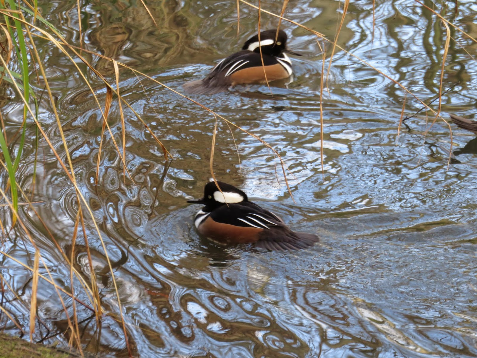 WWT London Wetlands of the World: Hooded merganser