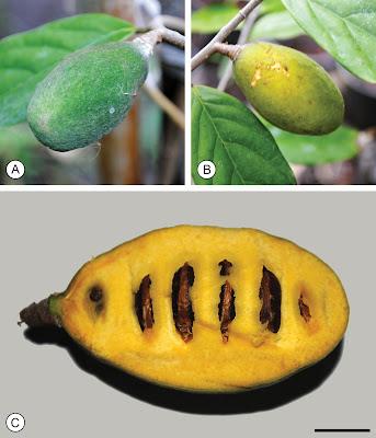 พรหมพนม สกุลมหาพรหม(Mitrephora) พรหมชนิดใหม่(9)ที่พบในประเทศไทย