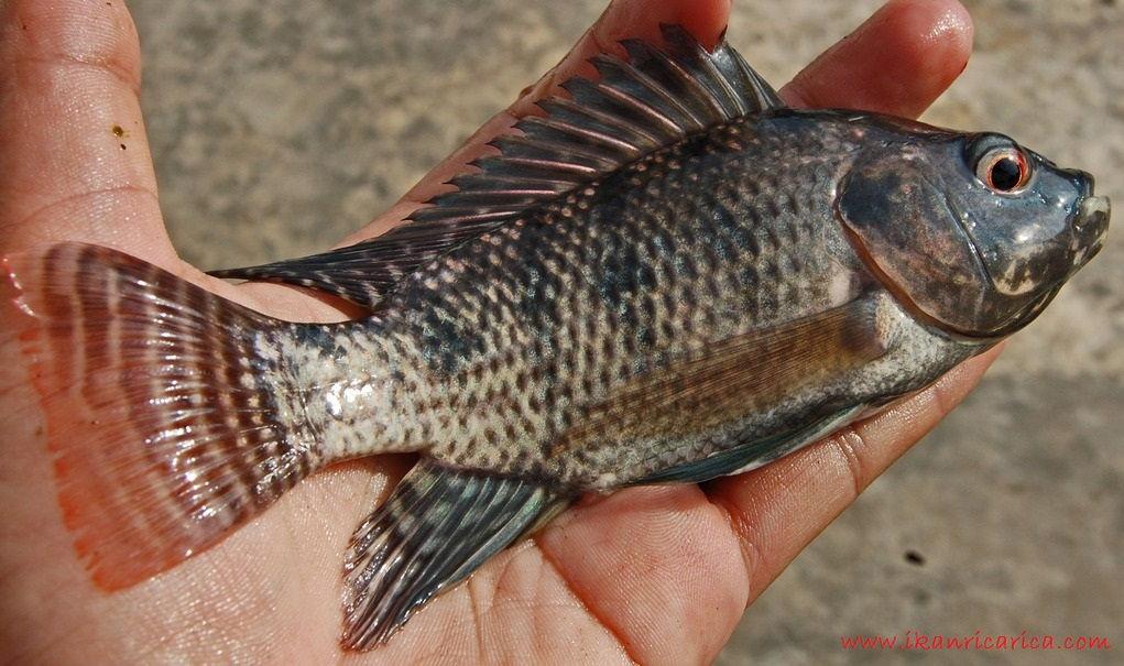 Gambar, Foto Klasifikasi Morfologi Ikan Nila Dan Asal Muasalnya