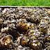 Arı satışı, Satılık karniyol ırkı arı