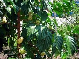 Hendriyanti Larangan Menanam Pohon Mengkudu Di Pekarangan Rumah Tacit Knowledge