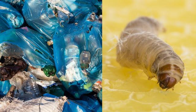 Ulat Beluncas Didapati Mampu Selesaikan Masalah Pelupusan Plastik