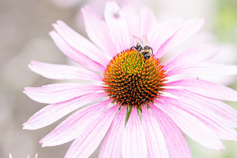 Gartenimpressionen im August, Pomponetti, Sonnenhut