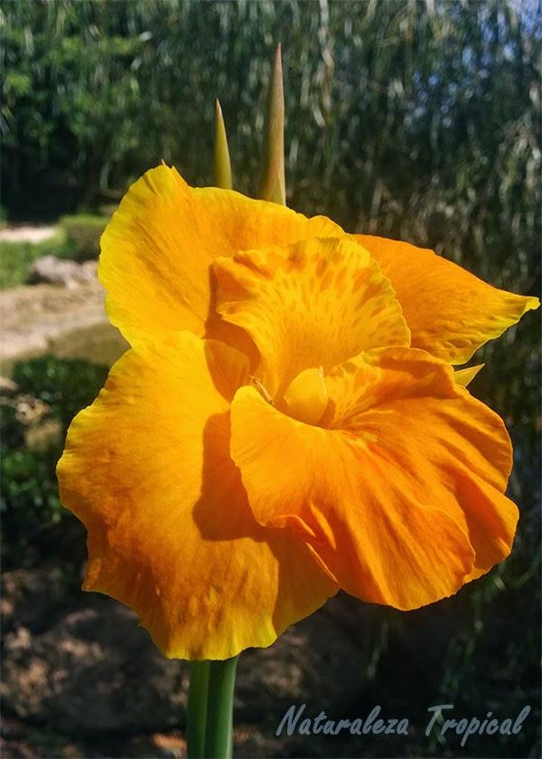 Variedad naranja matizada de la flor Caña de India