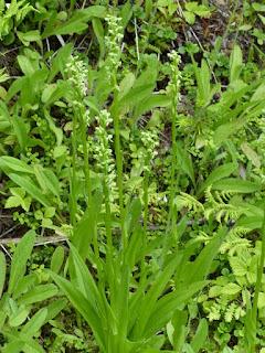 Platanthera sp. - Platanthère - Habénaire