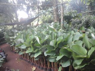 harga tanaman hias calatea