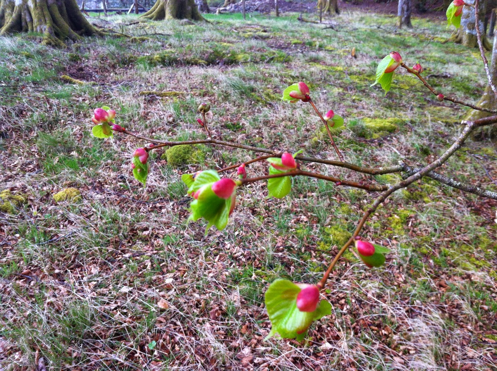 An image of the new growing tips of beech trees in the spring which are edible raw