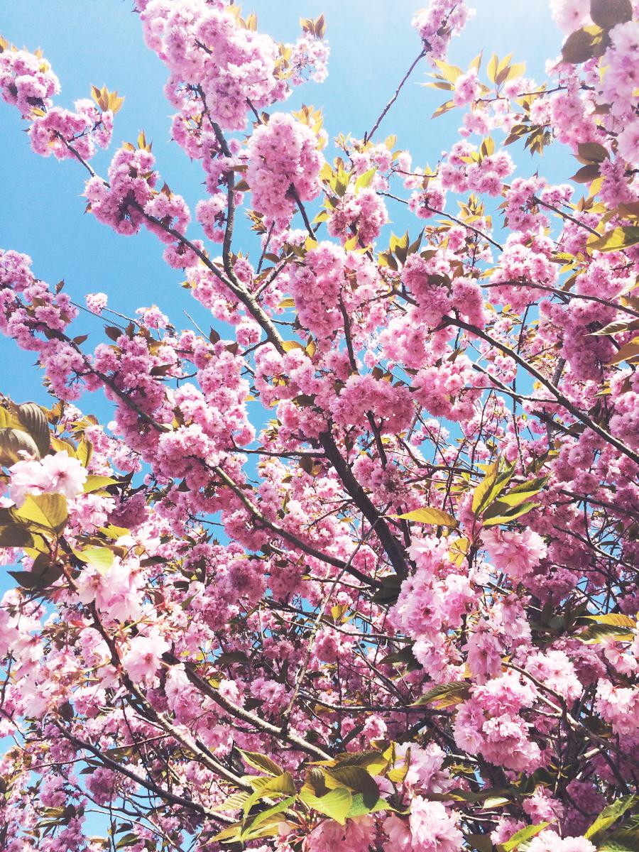 Spring Cherry Blossom,