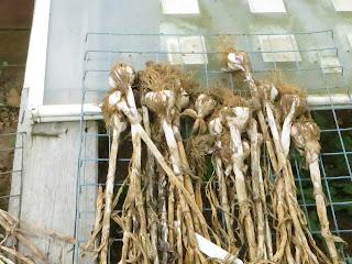 homegrown garlic, solent wight