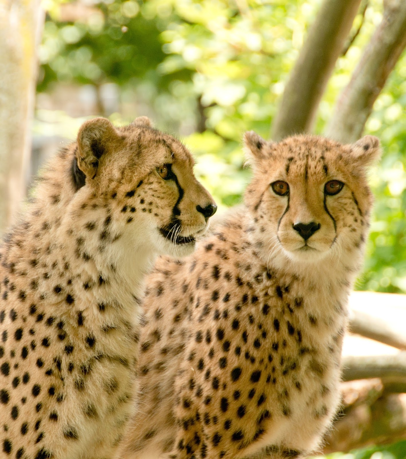 Picture of two beautiful cheetahs.