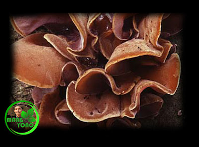 Foto iia - Supa lember / supa ceuli, kulantaran siga daun ceuli
