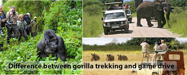 Difference between gorilla trekking and game drive in Uganda.