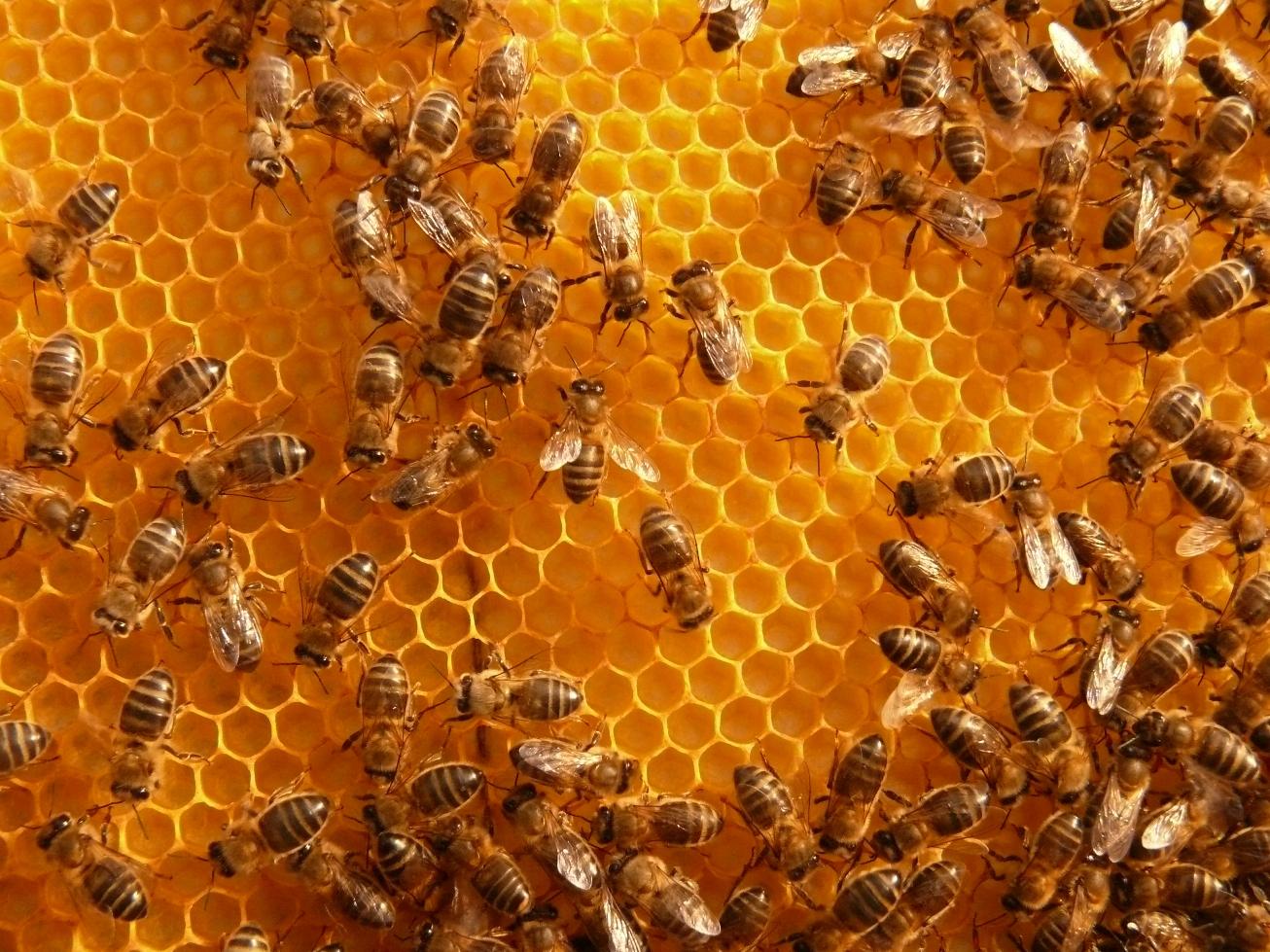 Resultado de imagen para abejas mueren por la telefonia movil