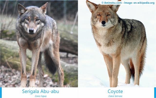 Perbedaan antara serigala abu-abu dan coyote