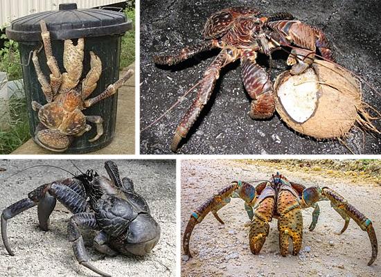 Coconut crab - Caranguejo dos coqueiros