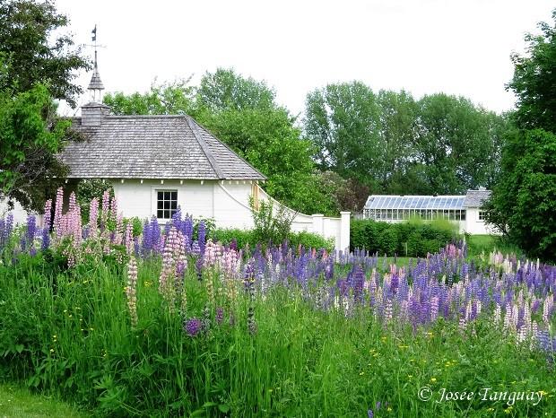 jardin de lupins