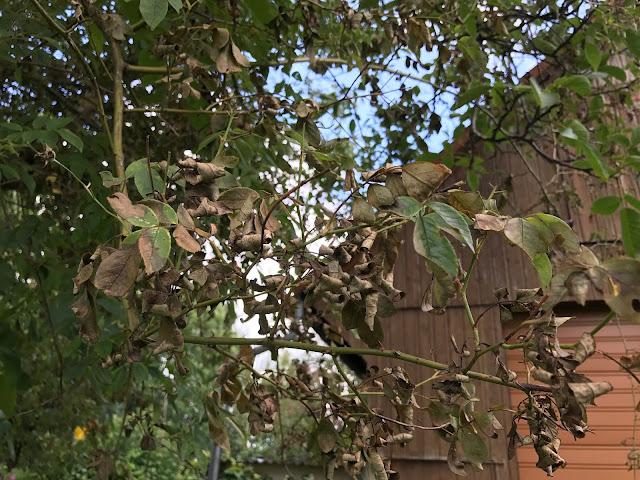 kranke Rosenblätter vom Rambler im Baum (c) by Joachim Wenk
