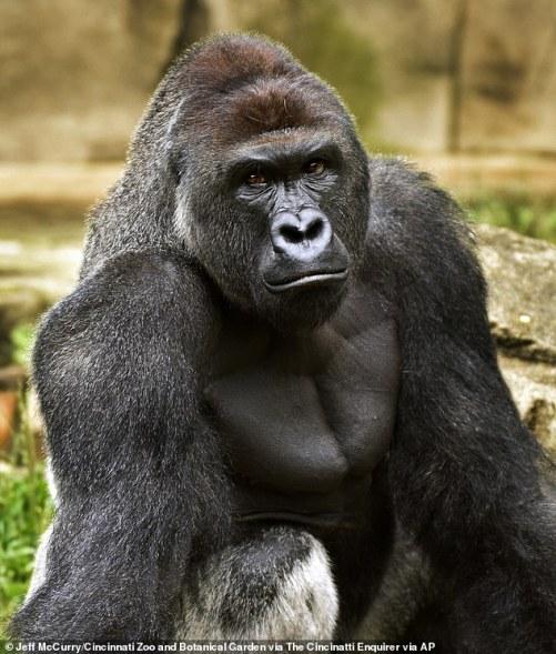 Gorilla Dewasa