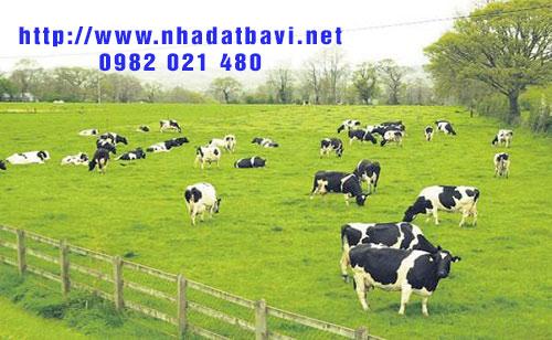 Sữa tươi Ba Vì - Đặc sản nổi tiếng Ba Vì