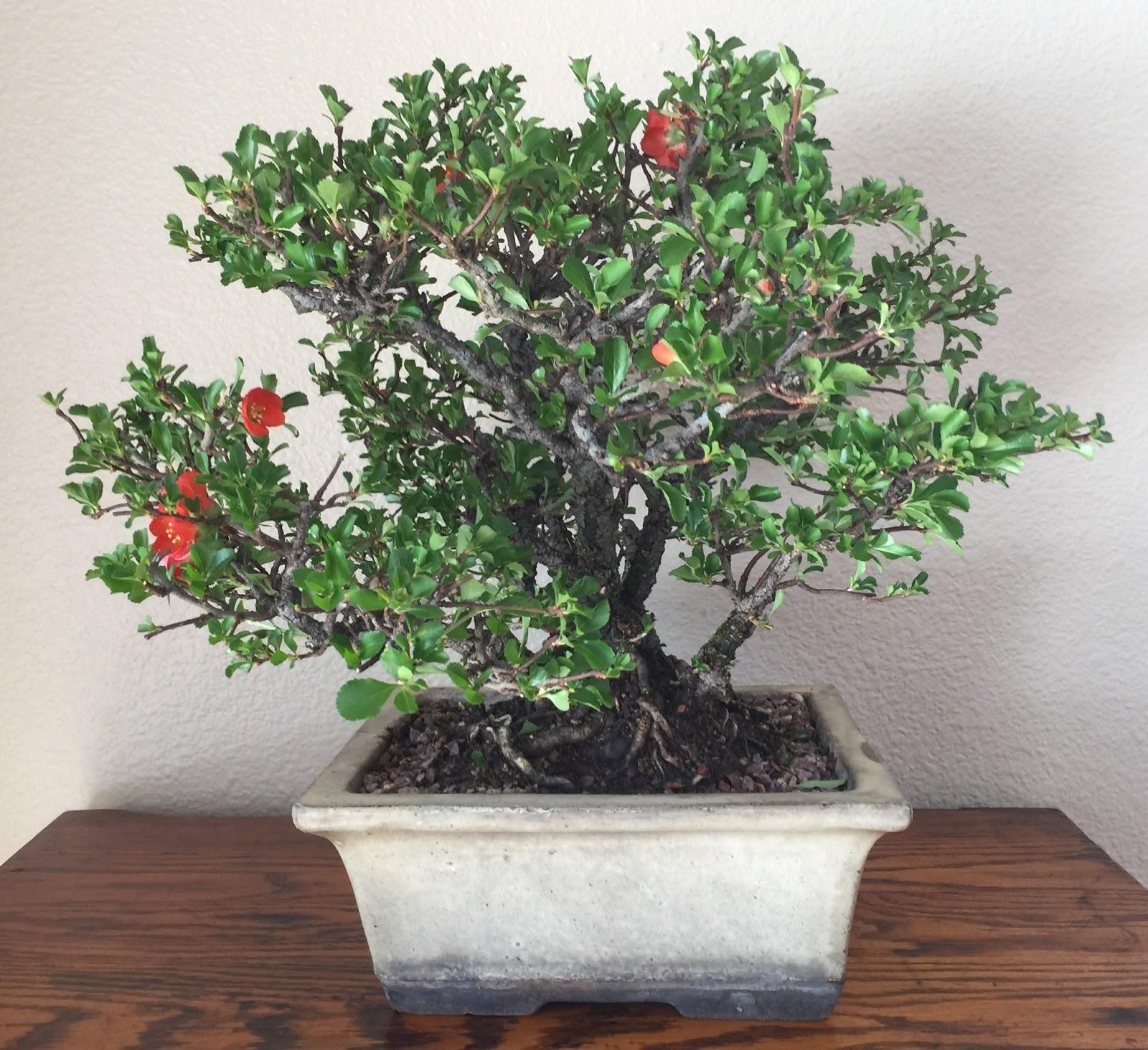 Tgt Bonsai Chojubai Dwarf Flowering Quince Large