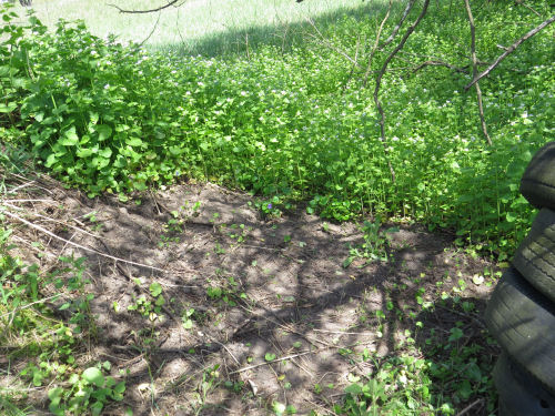 bare ground under garlic mustard