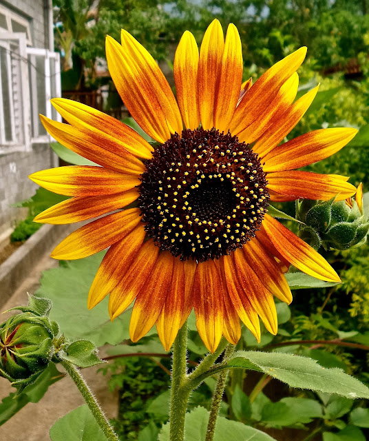 Burpee's Autumn Beauty mix sunflower