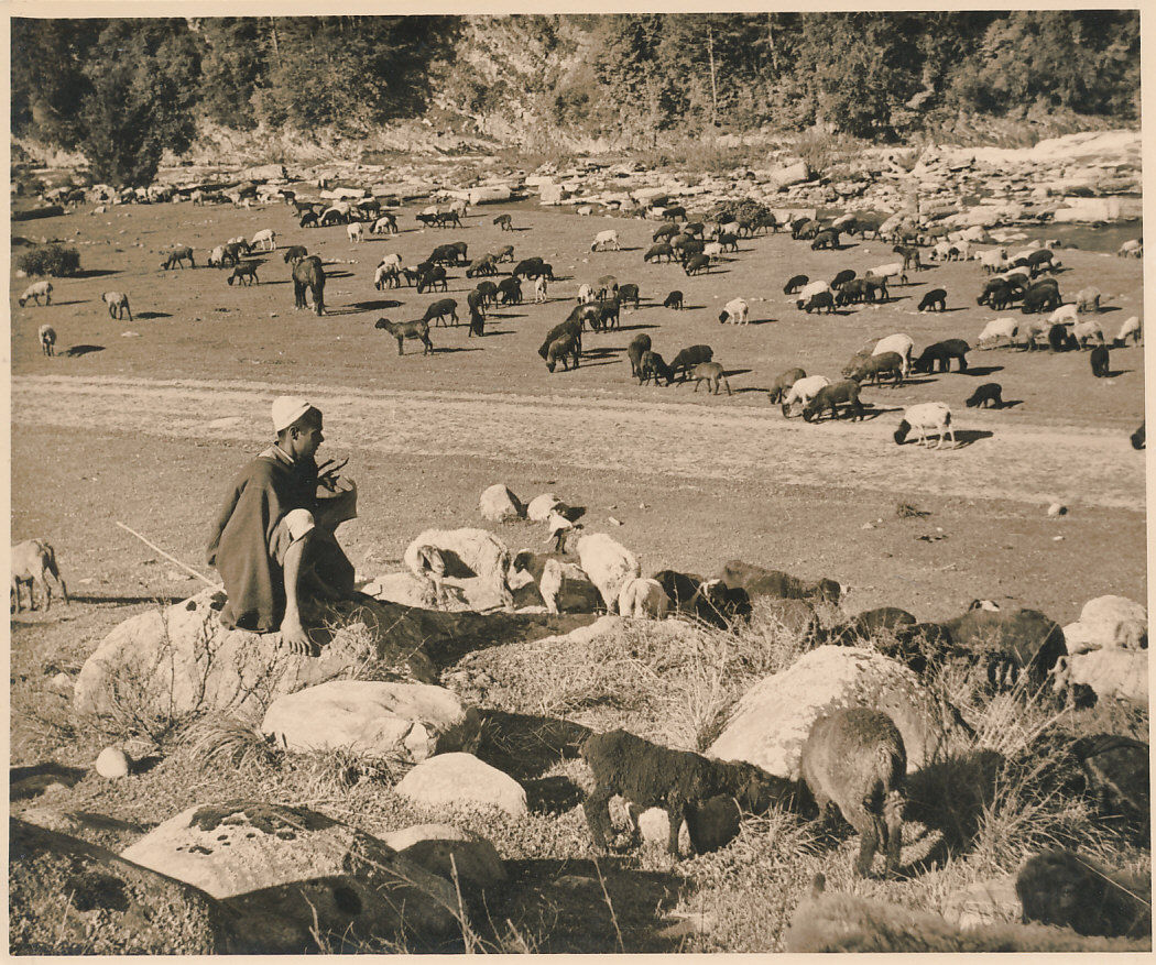 A Native is Watching Grazing Cattle in Kashmir Valley - India Circa 1920