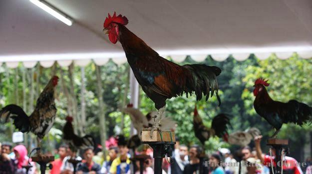 Kontes Ayam Ketawa Tingkat Nasional Blog Kota Bandung