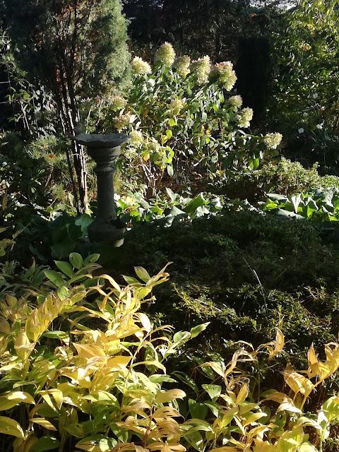 żółte liście kokoryczki