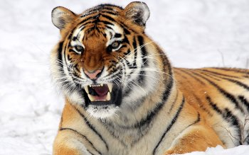 Wallpaper: Tiger Through Snow