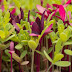 Health Benefits Of Microgreens