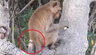 monyet yang hidup dengan botol plastik