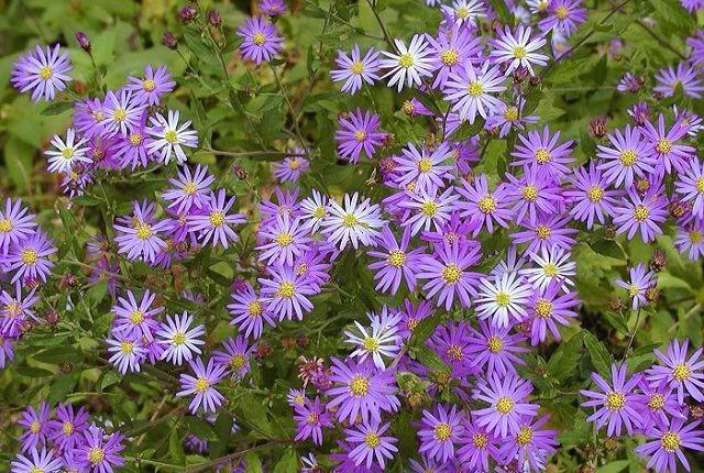hoa thach thao mau xanh