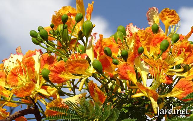 Flamboyant – Delonix regia