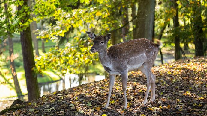 Wallpaper: Forest. Sun Rays. Animal. Deer
